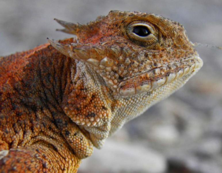 Horned Lizard, between Alpine and Terlingua off Hwy 118, 9/25/2013