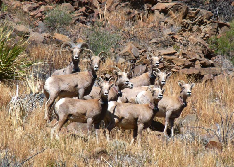 Recently Translocated Desert Bighorn Sheep on 9 Point Mesa #1
