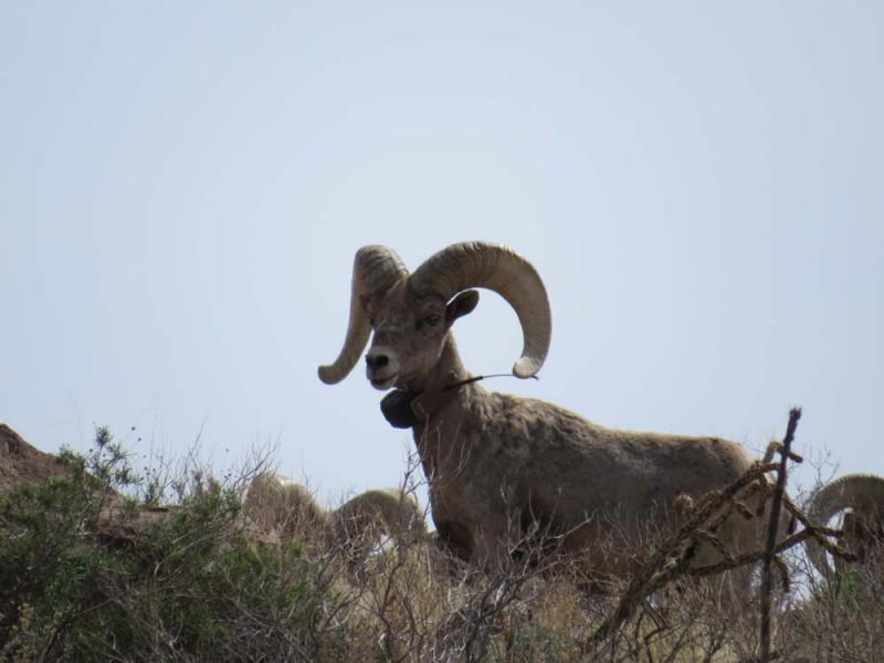 Recently Translocated Desert Bighorn Sheep on 9 Point Mesa #2