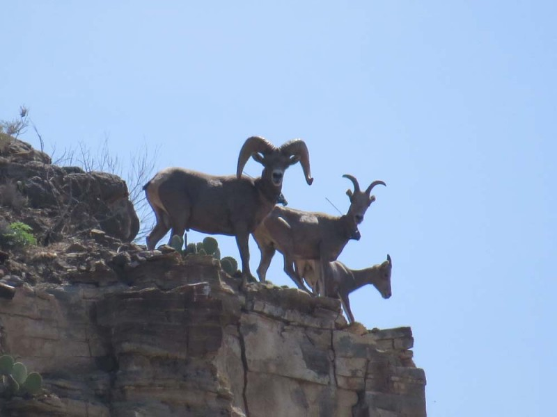 Recently Translocated Desert Bighorn Sheep on 9 Point Mesa #4