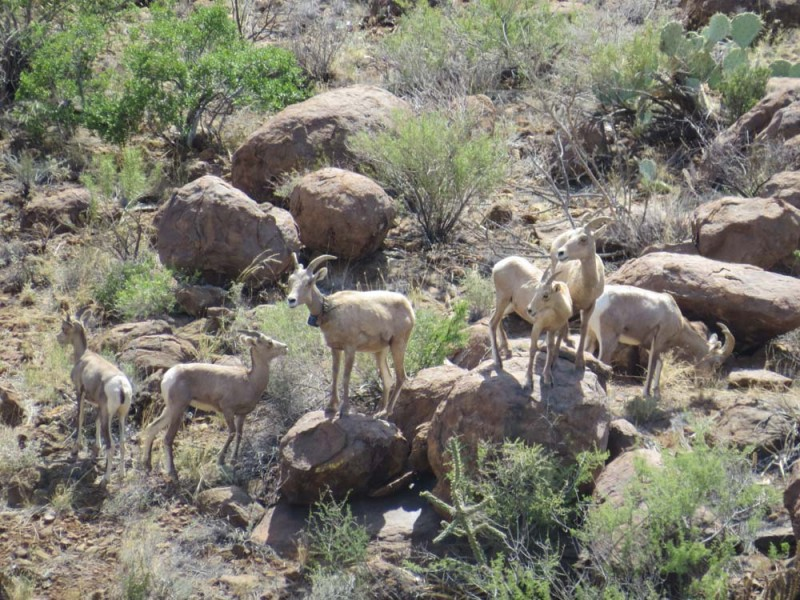 Recently Translocated Desert Bighorn Sheep on 9 Point Mesa #5