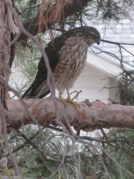 A Hawk in Our Yard