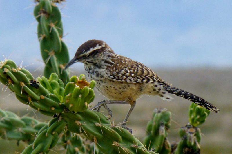 Cactus Wren's Song