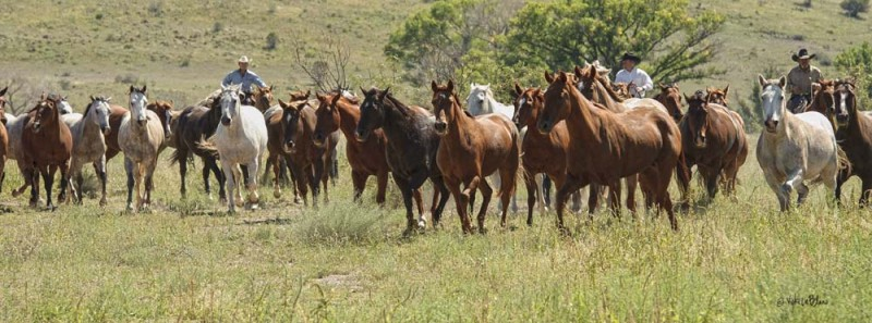 On the Move - gathering horses at the o6 Ranch