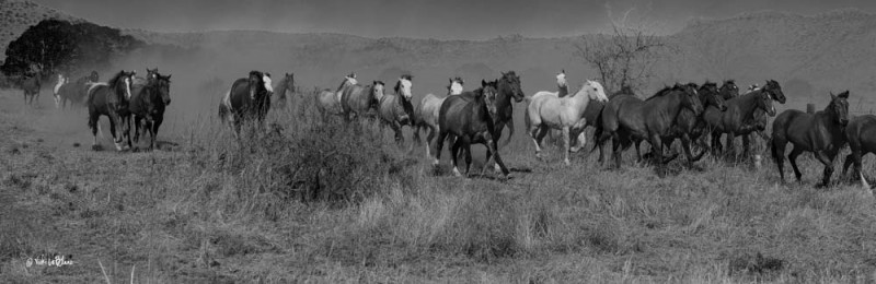 Stampede of horses at the o6 Ranch