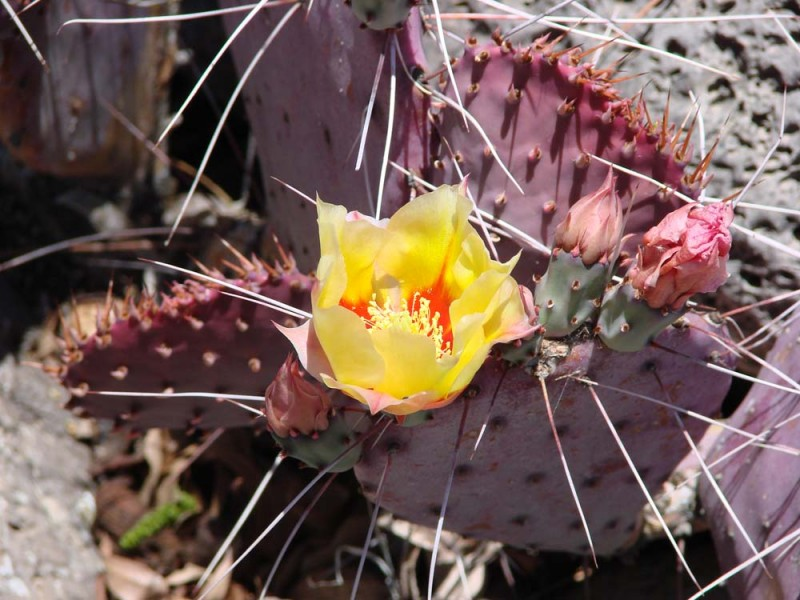 Cactus Flower - Best Western Alpine Cinco de Mayo 2013